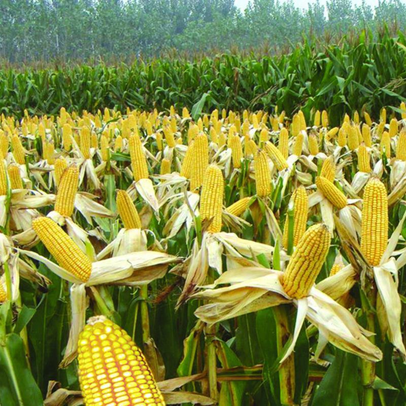 玉米水分含量计算公式,玉米水分检测方法