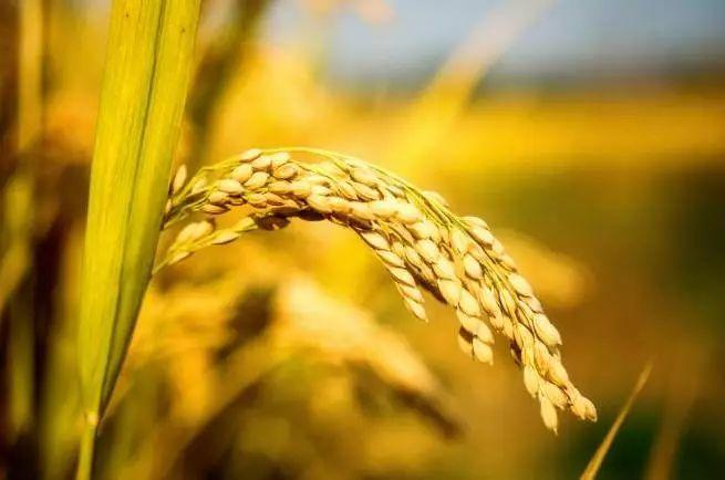 稻谷的分类,基础质量指标,测定稻谷水分含量的意义和