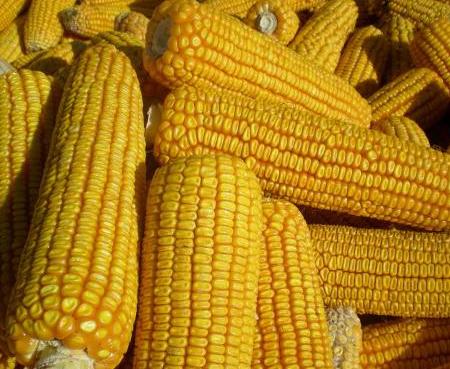 玉米扣量因素:水分、杂质、不完善粒、生霉粒,检测方法